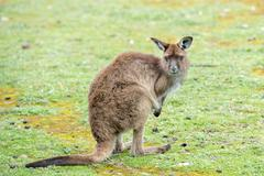 Kangaroo portrait while looking at you at sunset in kangaroo island Stock Photos