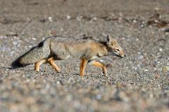 Portrait of a grey fox on the beach Stock Photos