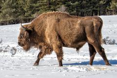 European bison portrait on snow background Stock Photos