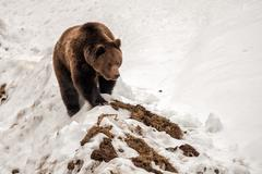 Brown bear brown grizzly walking to you on the snow background - stock photo