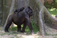 Baby gorilla sleeping on mother arm Kuvituskuvat