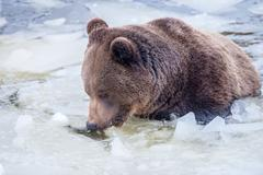 Black bear brown grizzly portrait in the snow background Stock Photos