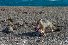 Grey fox eating a penguin and fighting Stock Photos