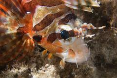 A colorful scorpion fish detail Cebu Philippines - stock photo