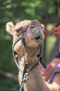 Isolated Dromedar Camel sitting near Bedouin Oasis Stock Photos