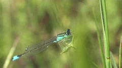 Azure Damselfly, dragonfly insect macro blue, in the forest, meadow Stock Footage
