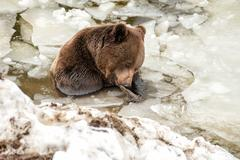 Black bear brown grizzly portrait in the snow background - stock photo