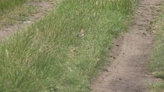 Striped bird with a tufted looking for insects in the burrows on ground Stock Footage