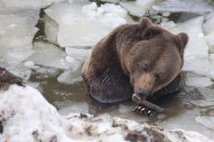 Black bear brown grizzly in winter Stock Photos