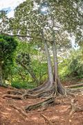 enormous roots big tree at Arlington botanical gardens - stock photo