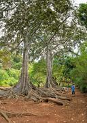 Enormous roots big tree at Arlington botanical gardens Stock Photos