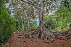 Enormous roots big tree at Arlington botanical gardensset of pirates of carib Stock Photos