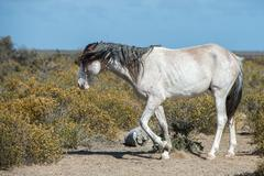 white wild horse on blue sky background in Patagonia, Argentina - stock photo