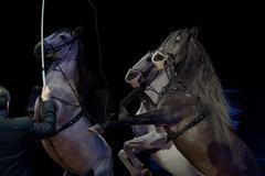 Rampant circus white horses on black background - stock photo