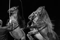 Rampant circus white horses on black background Stock Photos