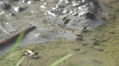 Fly, Ochthera  over the water surface, drink, water tension, insect - stock footage