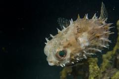 A baloon porcupine fish close up in Cebu Philippines Stock Photos