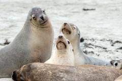 Australian sea lion in kangaroo island sandy beach Stock Photos