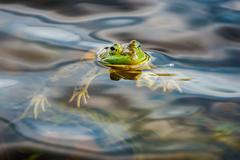 Frog in swamp while looking at you Stock Photos
