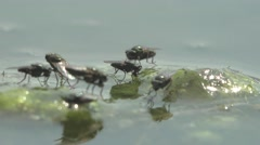 Fly, Ochthera  over the water surface, drink, water tension, insect Stock Footage