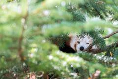 red panda hiding on a tree and looking at you - stock photo
