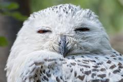 White snow owl close up portrait Stock Photos