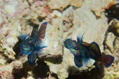 Two mandarin fish in love in Cebu Philippines Stock Photos