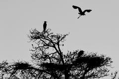 A black or blue heron silhouette in black and white while flying - stock photo