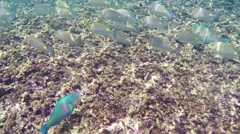 Shoal of tropical fish Siganus rivulatus underwater - stock footage