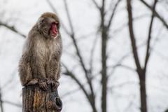 Japanese macaque monkey puppy portrait while looking at you Kuvituskuvat