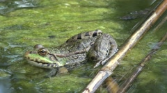 Green river Pool frog sitting in shallow, water plants, macro, 4k Stock Footage