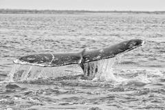 grey whale tail going down in pacific ocean in black and white - stock photo