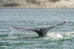 grey whale tail going down in pacific ocean - stock photo