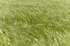 Green Wheat field moved by wind - stock photo