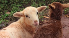 Sheep cuddle Stock Footage