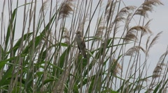 Great reed warbler, Bird singing in the reeds on river, pond Stock Footage