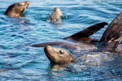 Seal sea lion in baja california coming to you Stock Photos