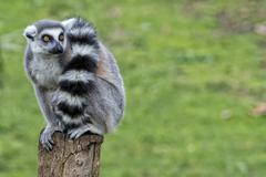 Lemur monkey family on the grass Stock Photos