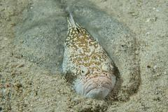 Stargazer priest scorpion fish while hiding in the sand - stock photo