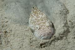 Stargazer priest fish hunting in sand in Philippines - stock photo