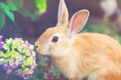 Rabbit in front of a hydrangea bush Stock Photos