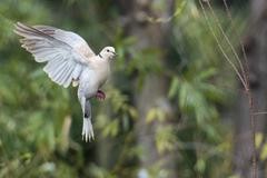 turtle dove bird while flying on the forest background - stock photo