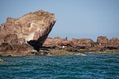 Seal sea lion in baja california relaxing on the rocks - stock photo