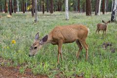 Female deer with calf Stock Photos