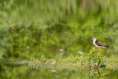 black winged stilt portrait on green swamp background - stock photo