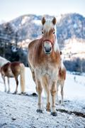 Horse portrait on the white snow background - stock photo