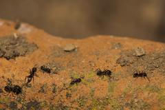 Black ants running on soil orange background Stock Photos