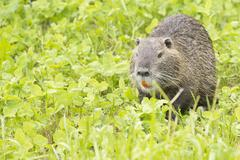 Isolated Beaver coypu looking at you Kuvituskuvat