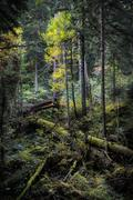 Fallen trees covered with moss in the fir forest. Stock Photos