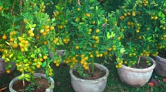 Potted Tangerine Trees, for Sale before the Chinese New Year Stock Footage